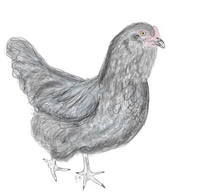 Young Black Hen   AHY   Digital Drawing   PENUP