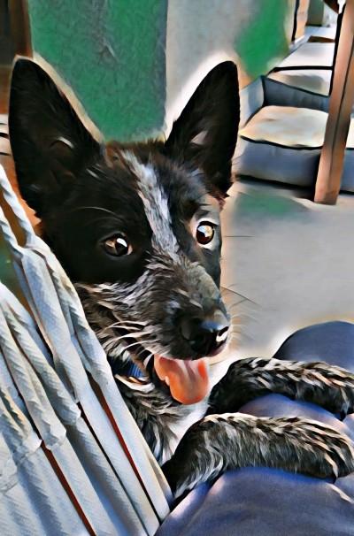 Cattledog | zippy51 | Digital Drawing | PENUP